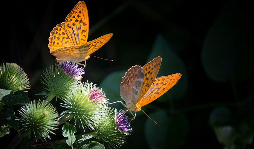 12 curiosidades que quizás no sabías sobre las mariposas