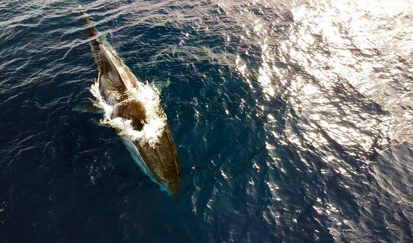 La triste historia de Codamozza, la ballena sin cola